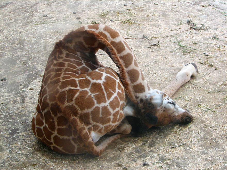 Alvó zsiráf