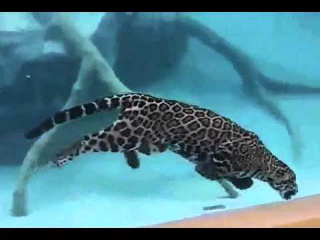 Jaguár a víz alatt